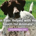 Dog in pain helped with Healing Touch for Animals.