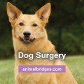 dog-surgery