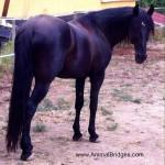 Samba, the horse, tells animal communicator why he is lame.