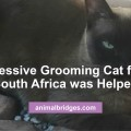 Excessive grooming cat