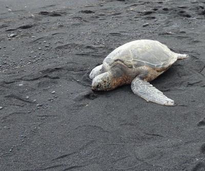 Sea turtle and manta rays animal communications