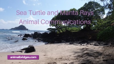 Sea turtle and manta rays animal communications