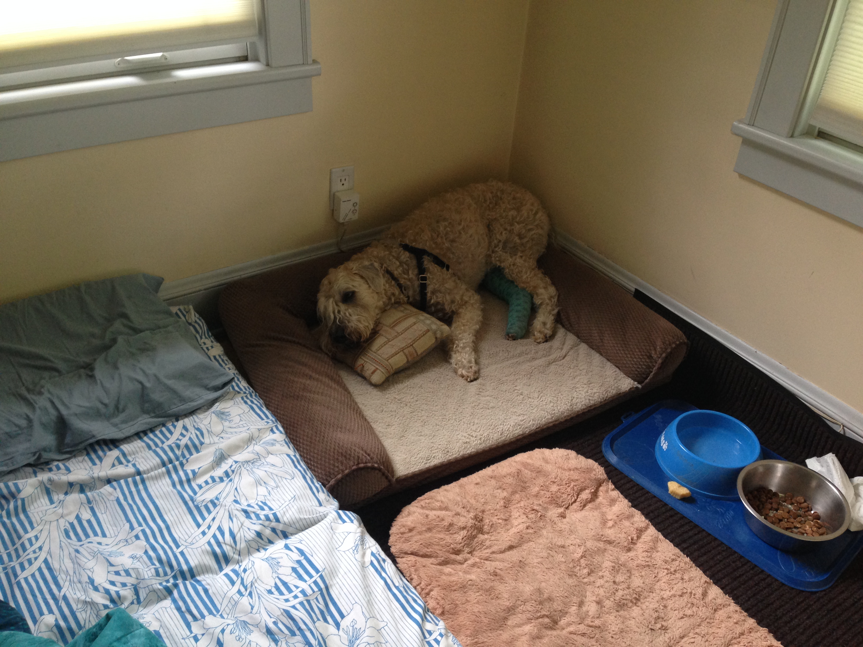 Hobbes Recovery Room After Dog Acl Surgery